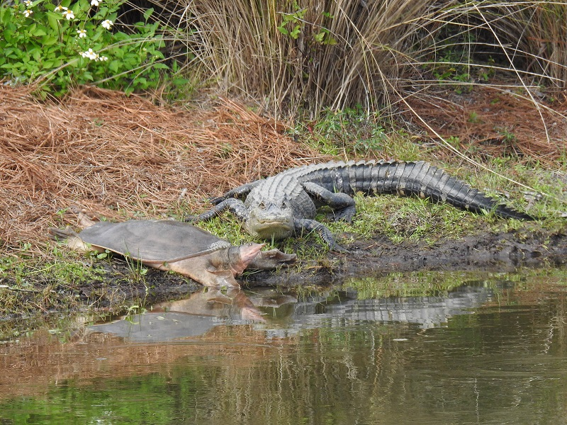 Turtle and alligator hanging out at a retention pond